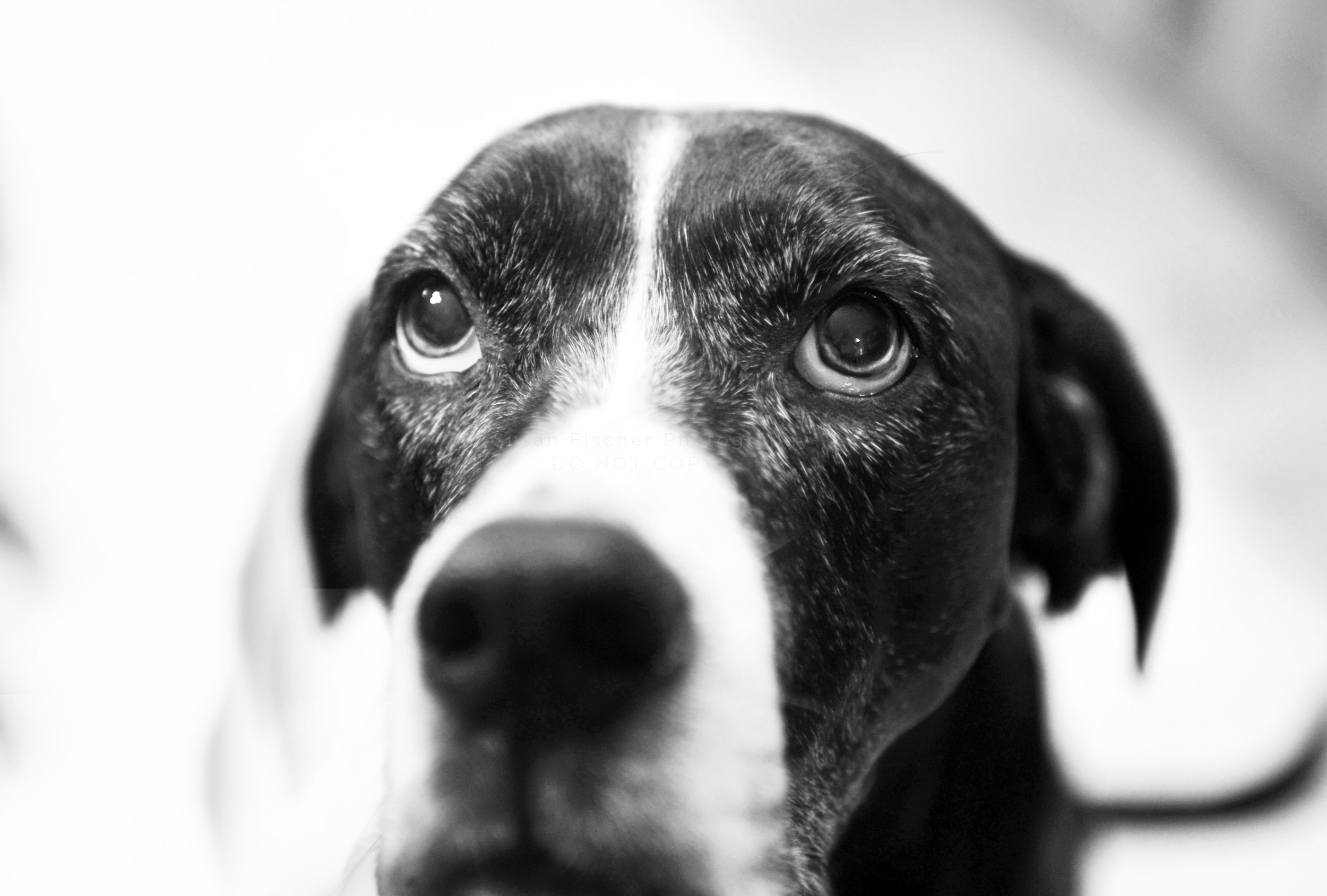 Black and white portrait of a black and white dog