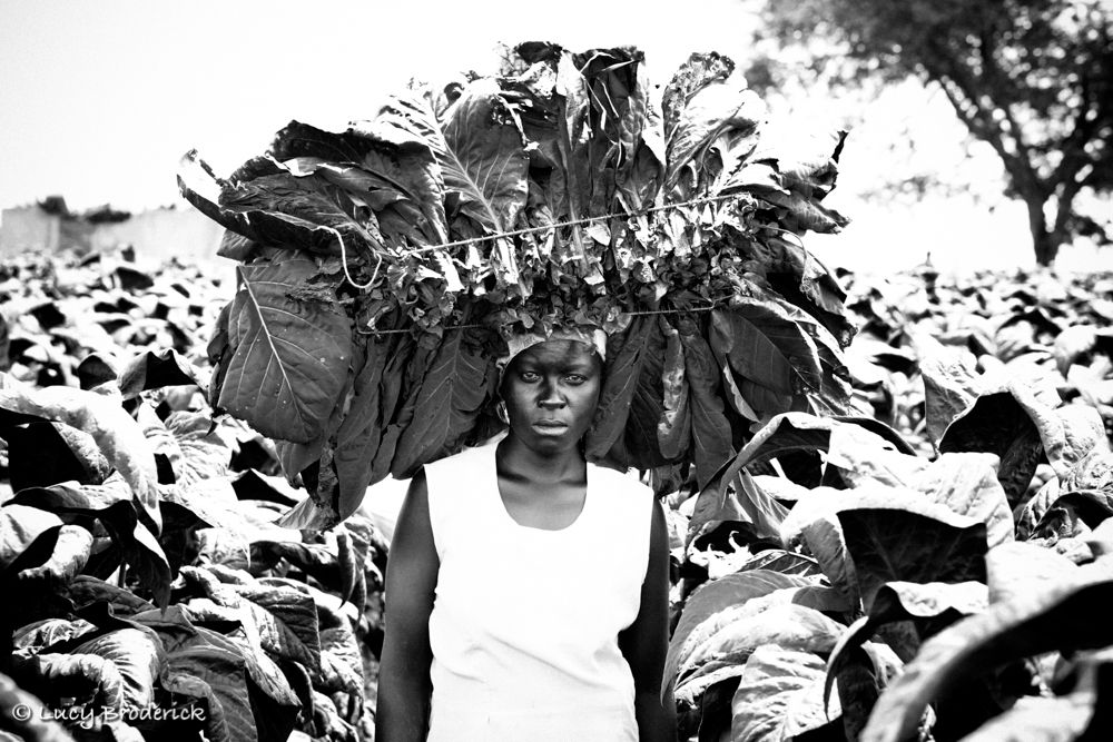 Portrait of a small scale tobacco woman farmer, carrying tobacco on her head in a tobacco field, Shamva, Zimbabwe