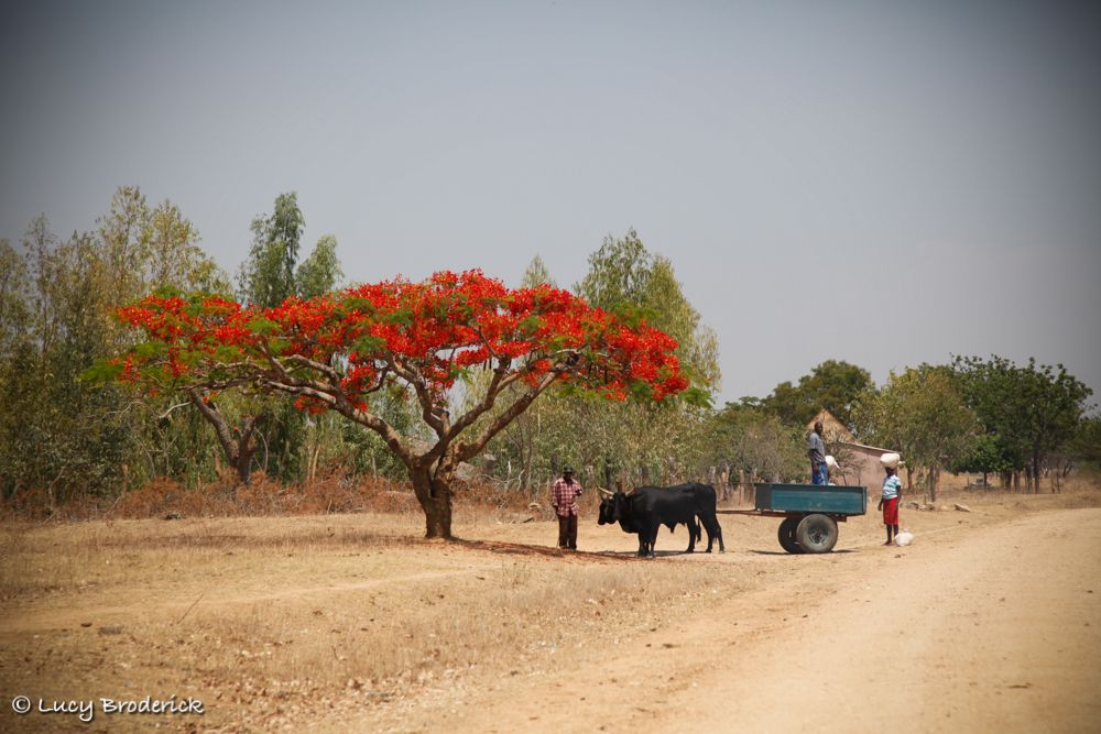 A cow drawing a homemade trailer rests under the shade of a red flamboyant tree, Shamva, Zimbabwe