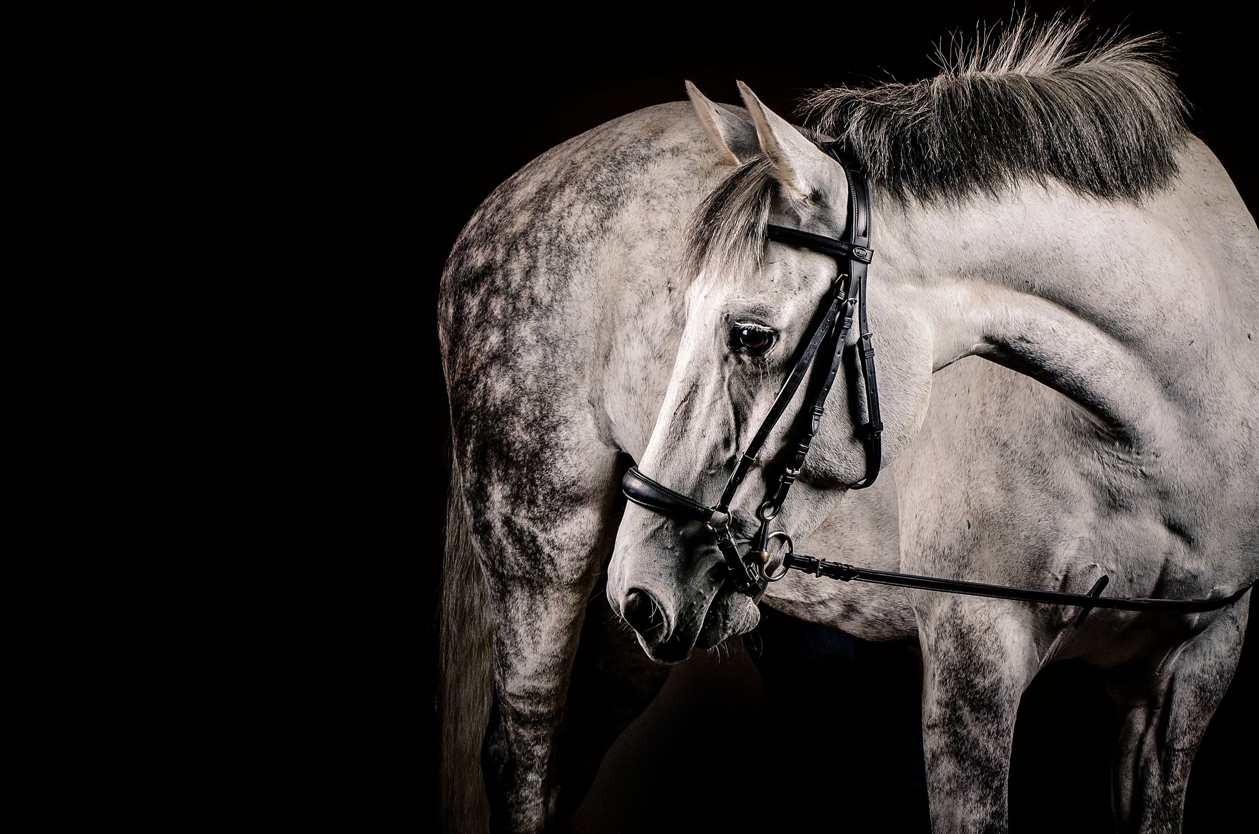Andalusian gelding horse in studio portrait with black background