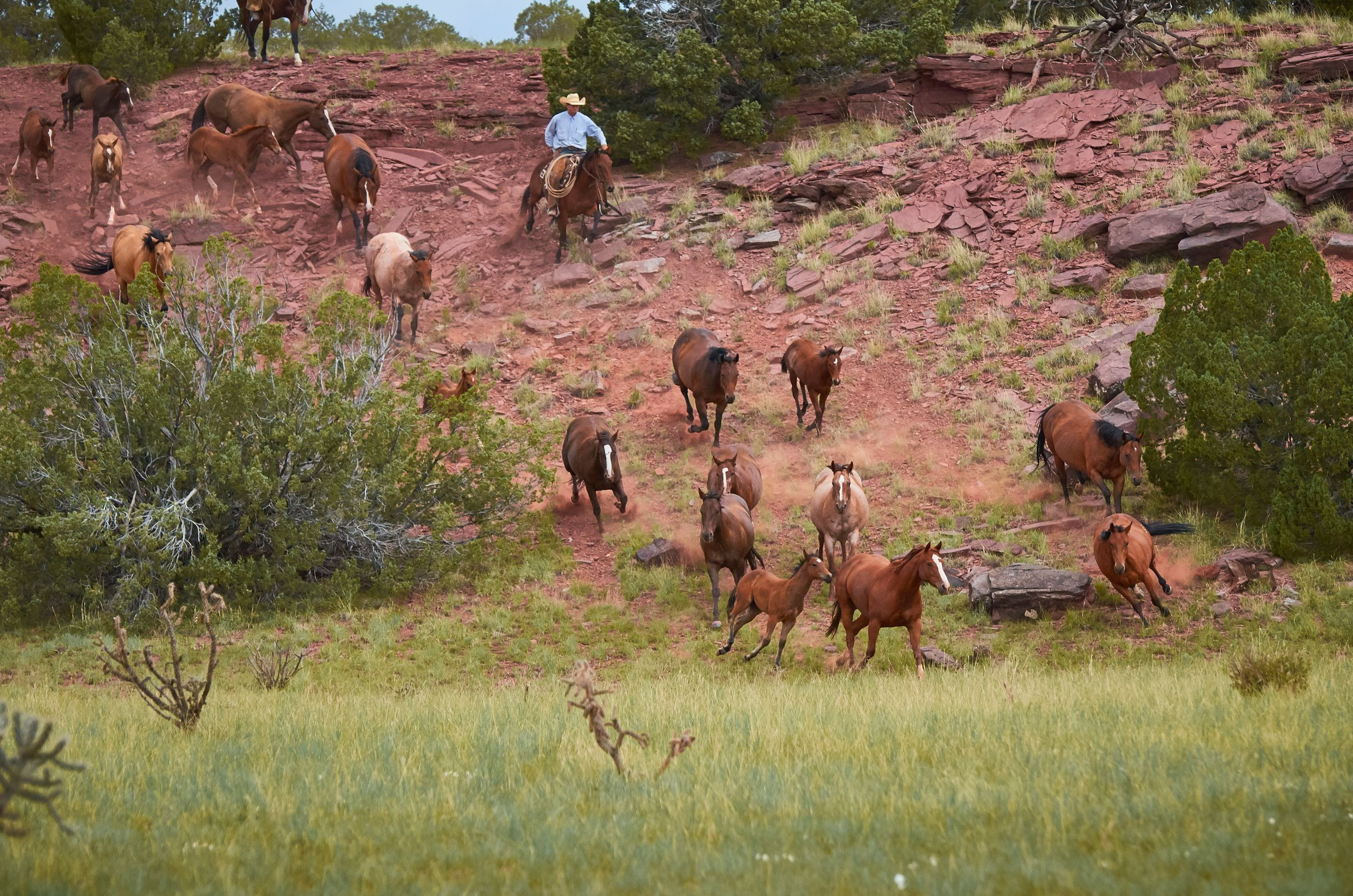 Quarter Horse mares and foals running down a cliff