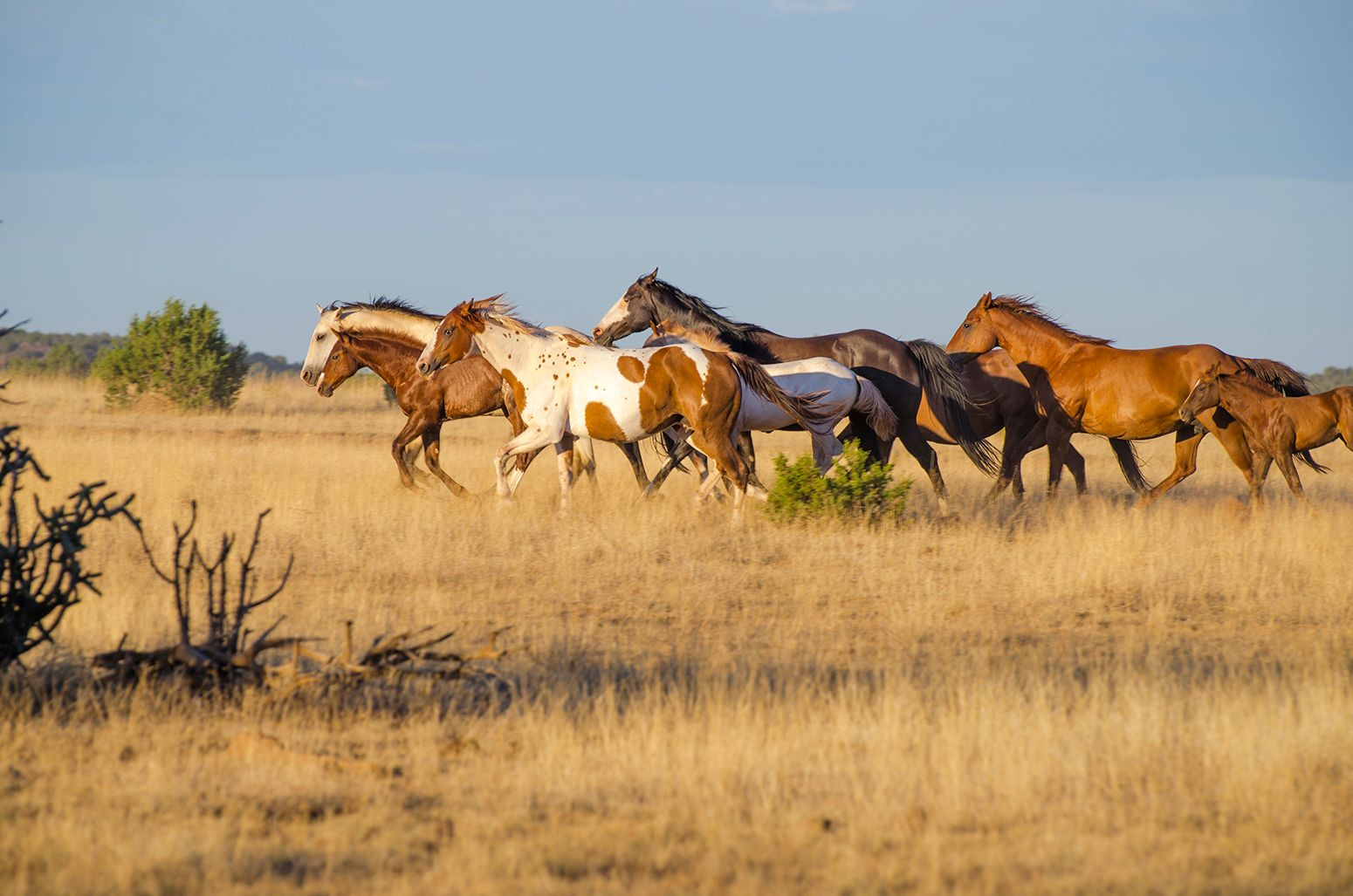 Quarter Horse mares and foals running