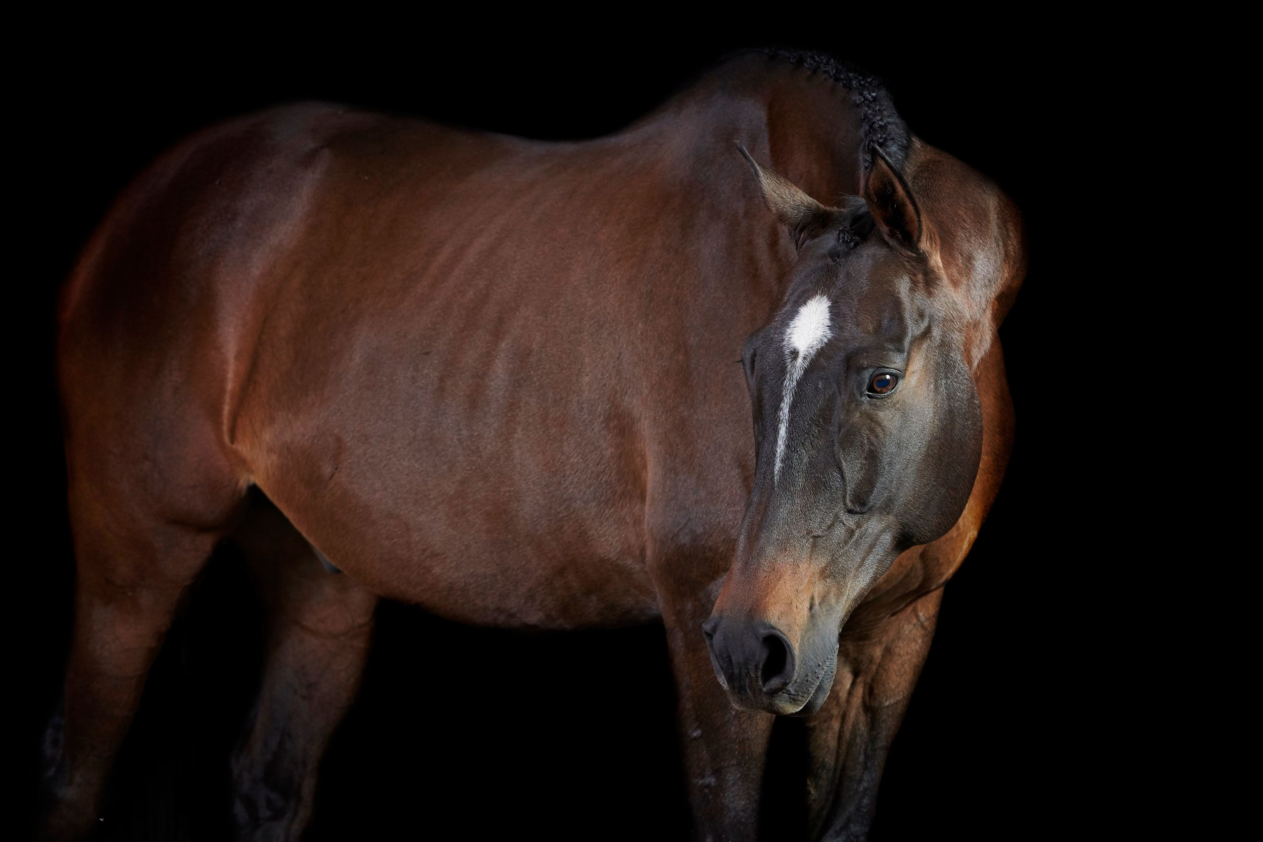Bay thoroughbred horse in black background studio portrait