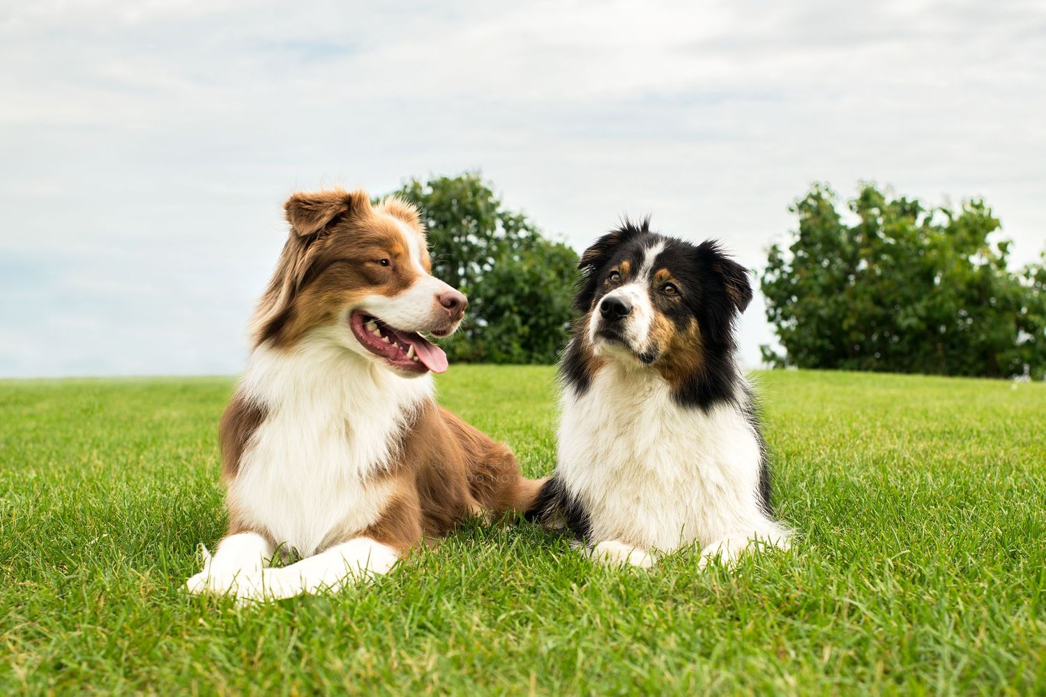 2 Australian shepherd dogs lying in the grass