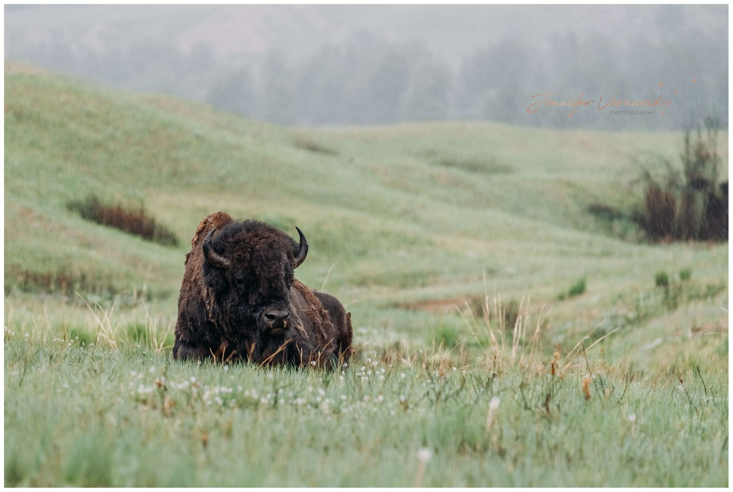 Buffalo laying in the grass at national bison range in Charlo Montana
