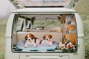 Kooikerhondje wedding Slovenia with dogs and Volkswagen