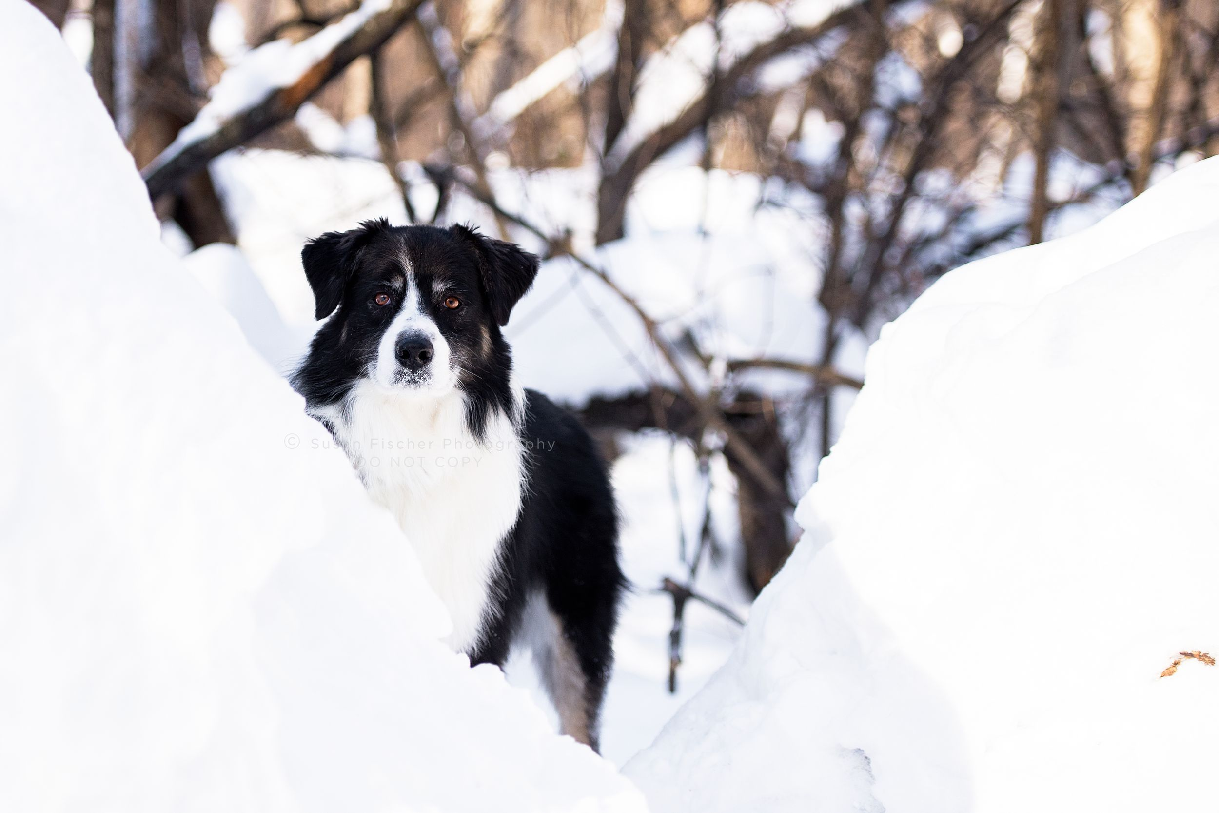 dog, dog in snow, dog in forest, Australian shepherd