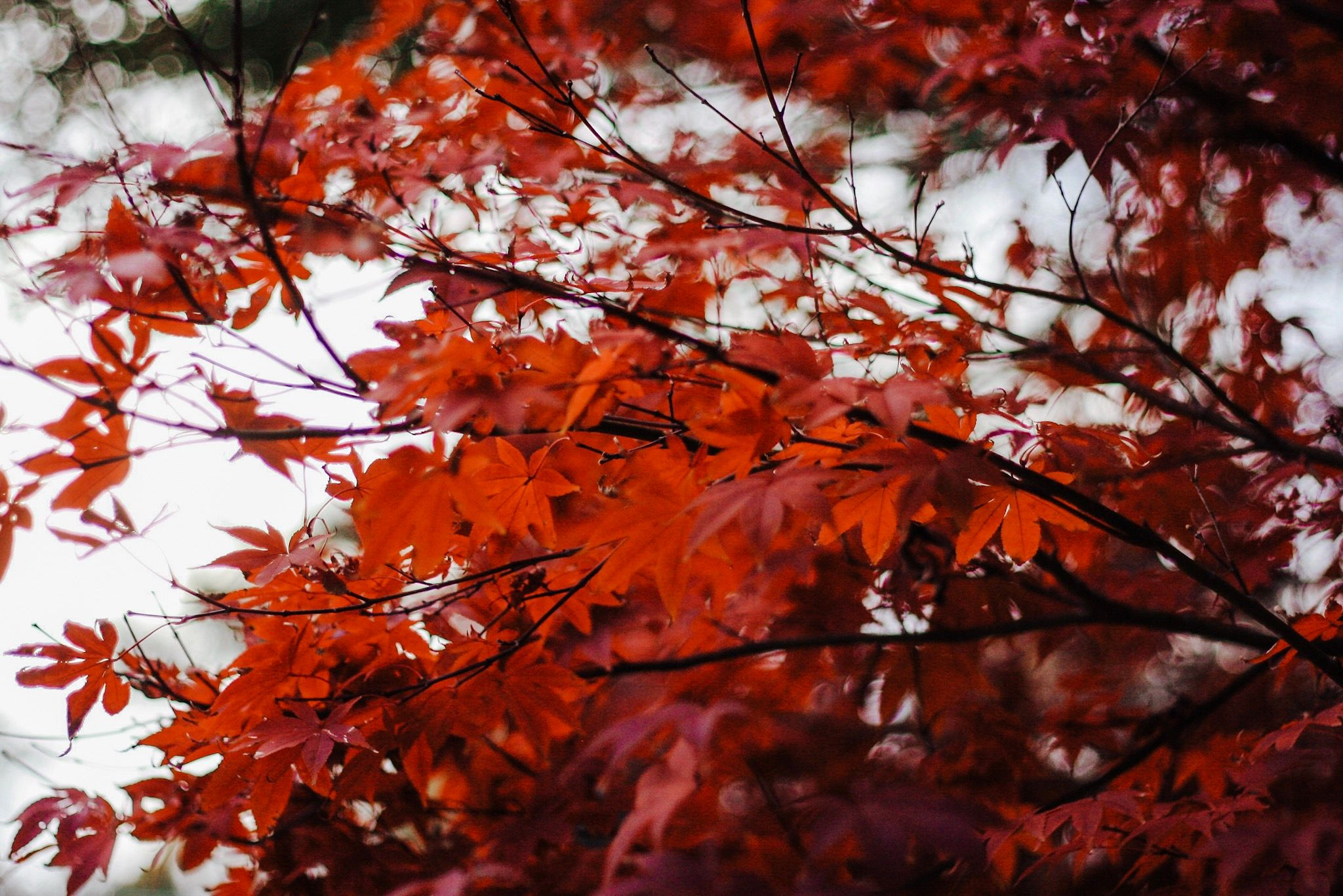 red falls leaves still on the tree during autumn at lake lynn