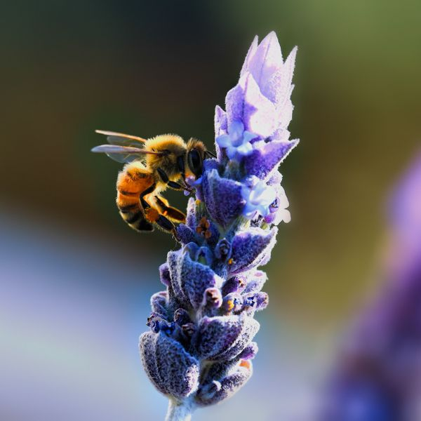 Bee and Lavender Buy Stock Image © COPYRIGHT. Dragon Papillon Photography.  All rights reserved.