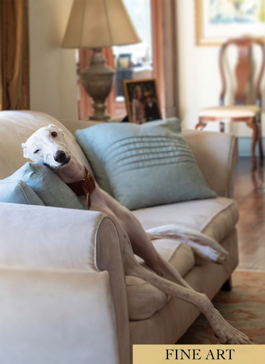 White Greyhound Dog with One Eye Open Lounging on Sofa by Photographer Leslie Argote