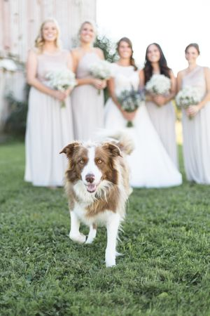 australian shepherd dog in front of a row of bridesmaids holding babys breath bouquets ottawa wedding photographer