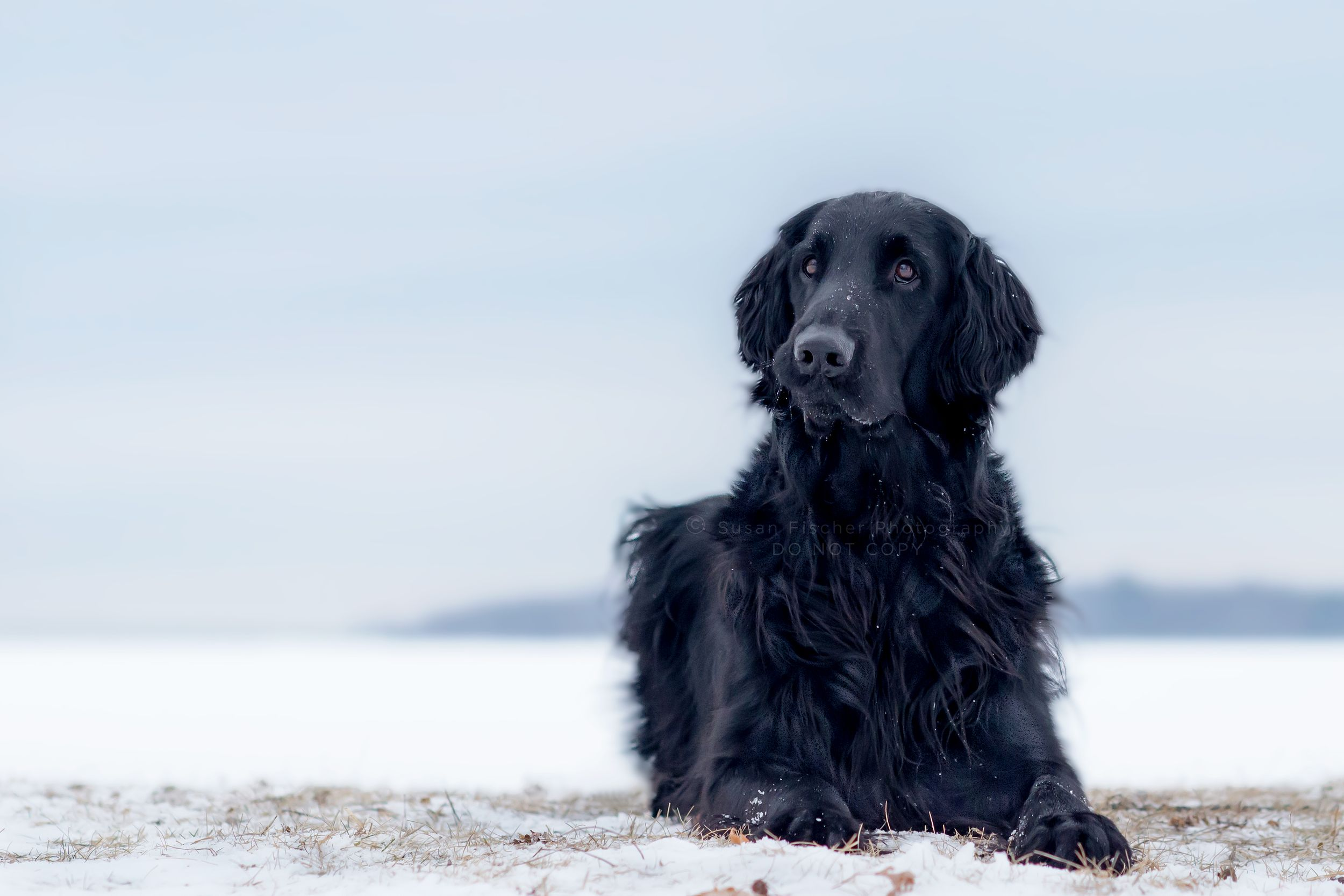 A Flat Coated Retriever with a funny curled lip lying in the snow
