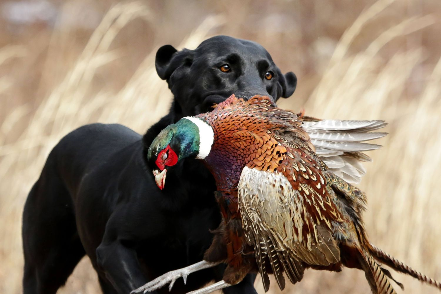 Upland Lab retrieving a pheasant