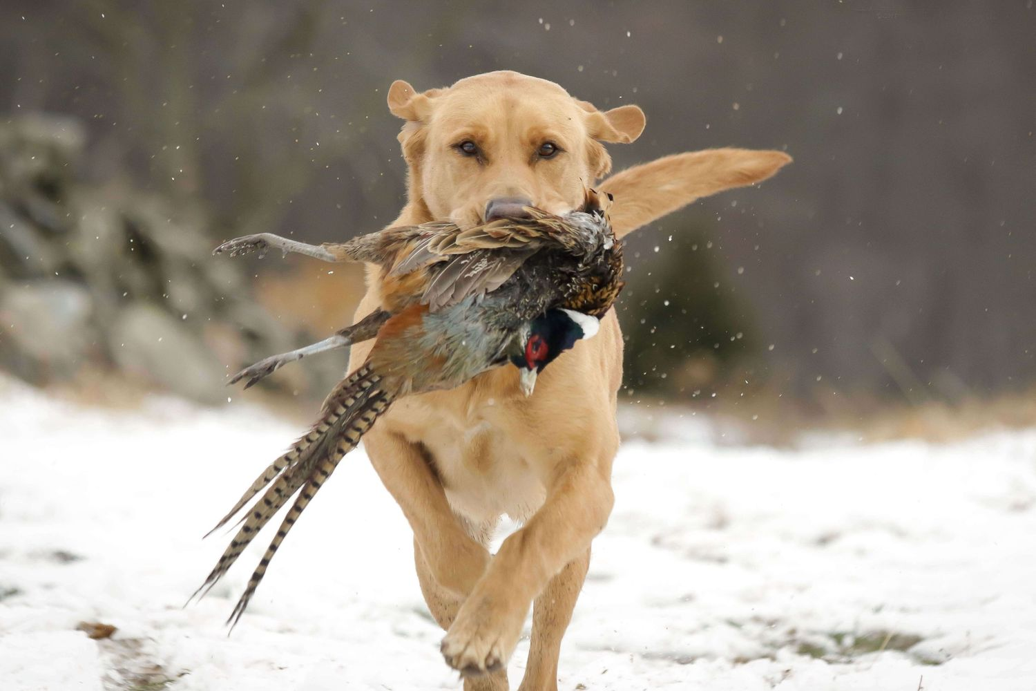 Hunting Lab portrait  retrieving a pheasant