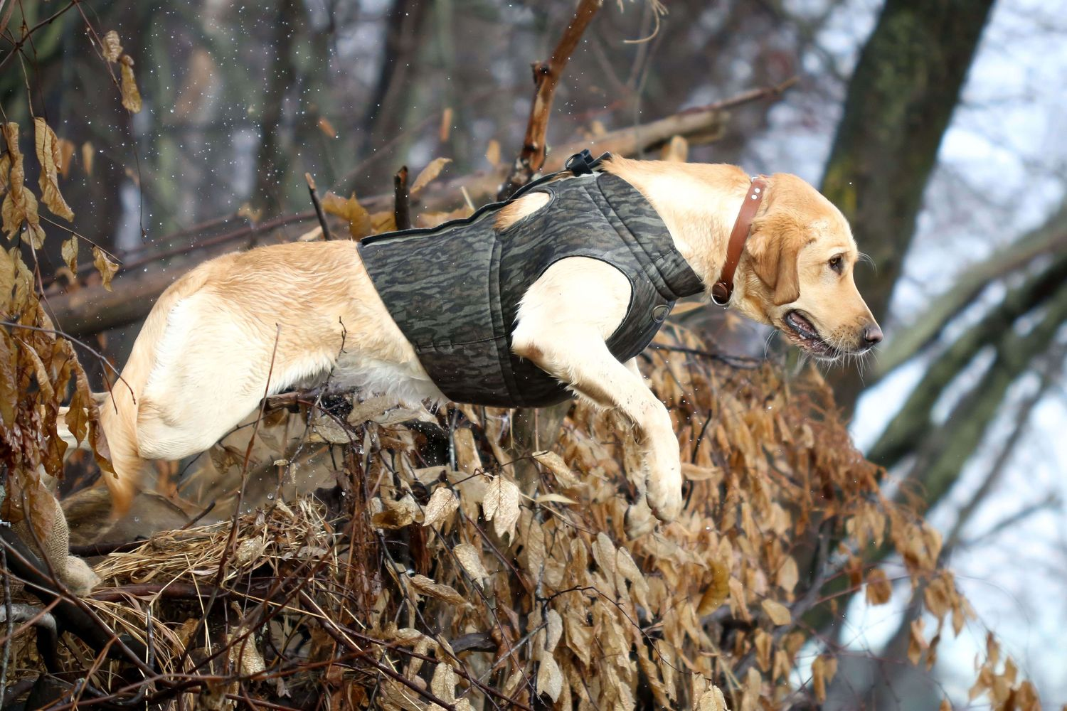 CT duck hunt Lab jumping out of the blind