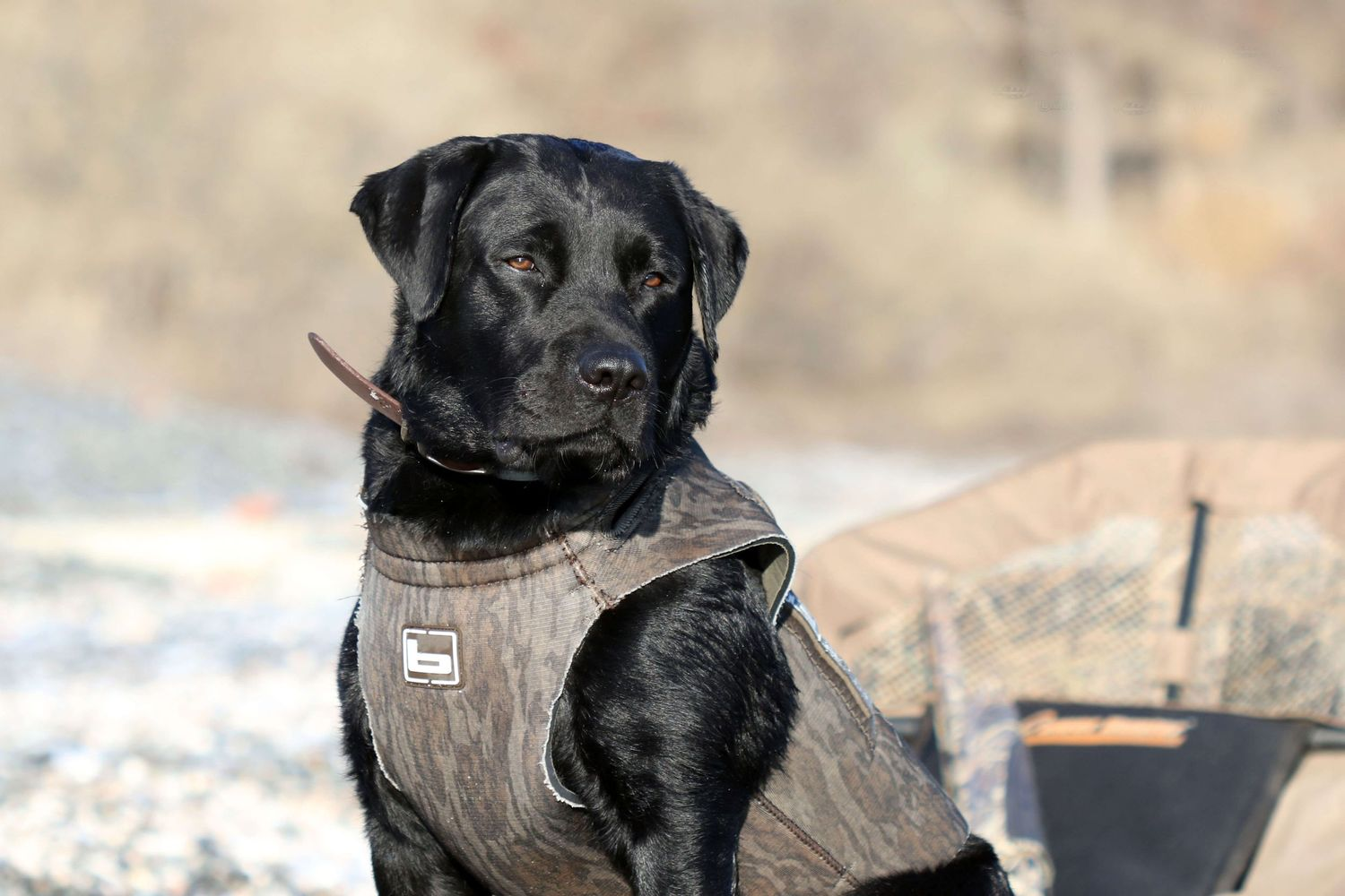 Outdoor photography of a duck hunting dog