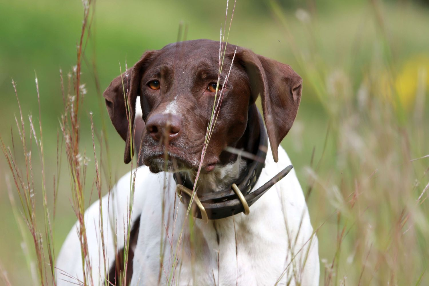 German Short Haired Pointer on point in a field