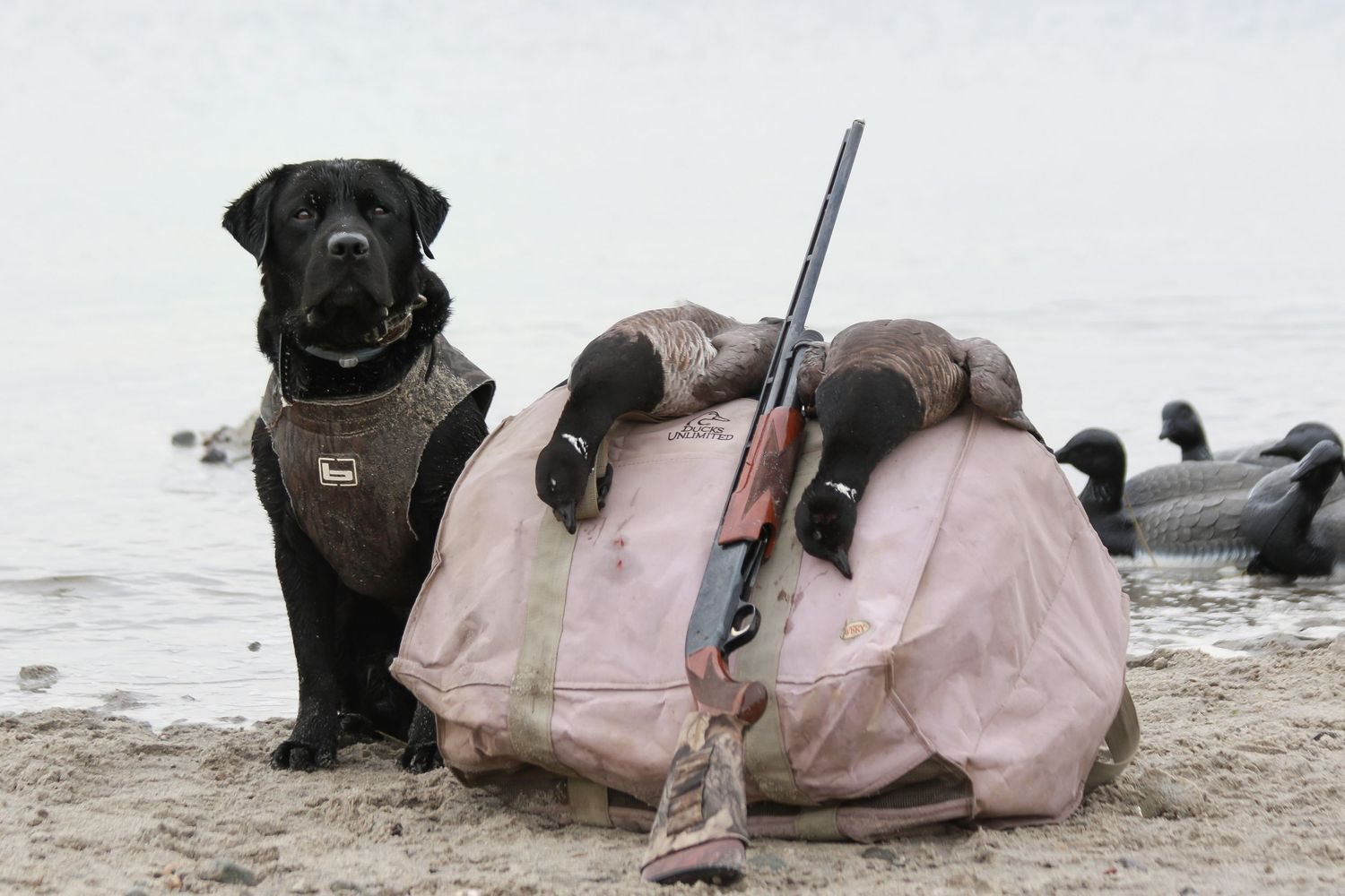 Black Lab with Brant on Rhode Island beach hunt