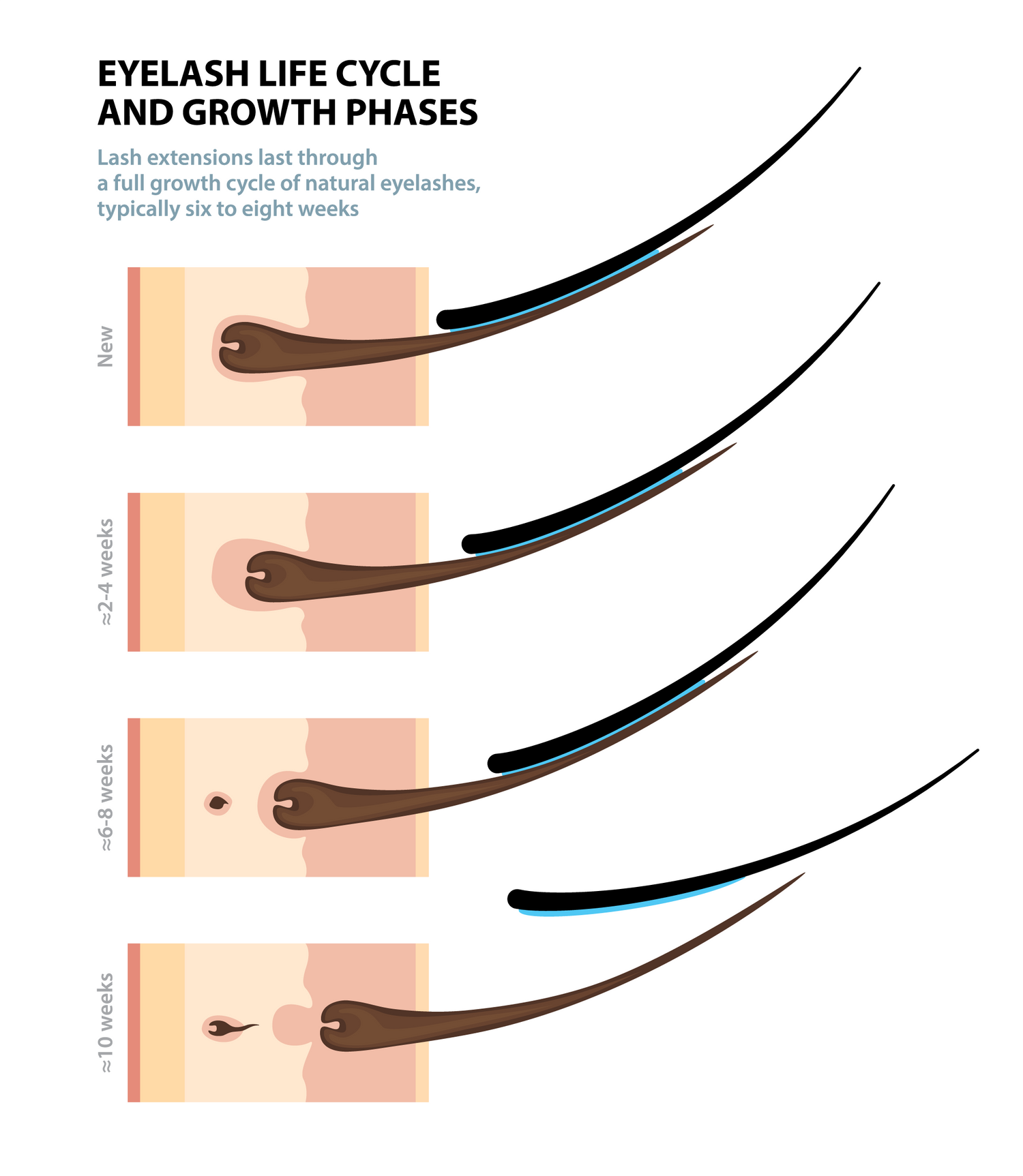 Eyelash Life Cycle and Growth phases