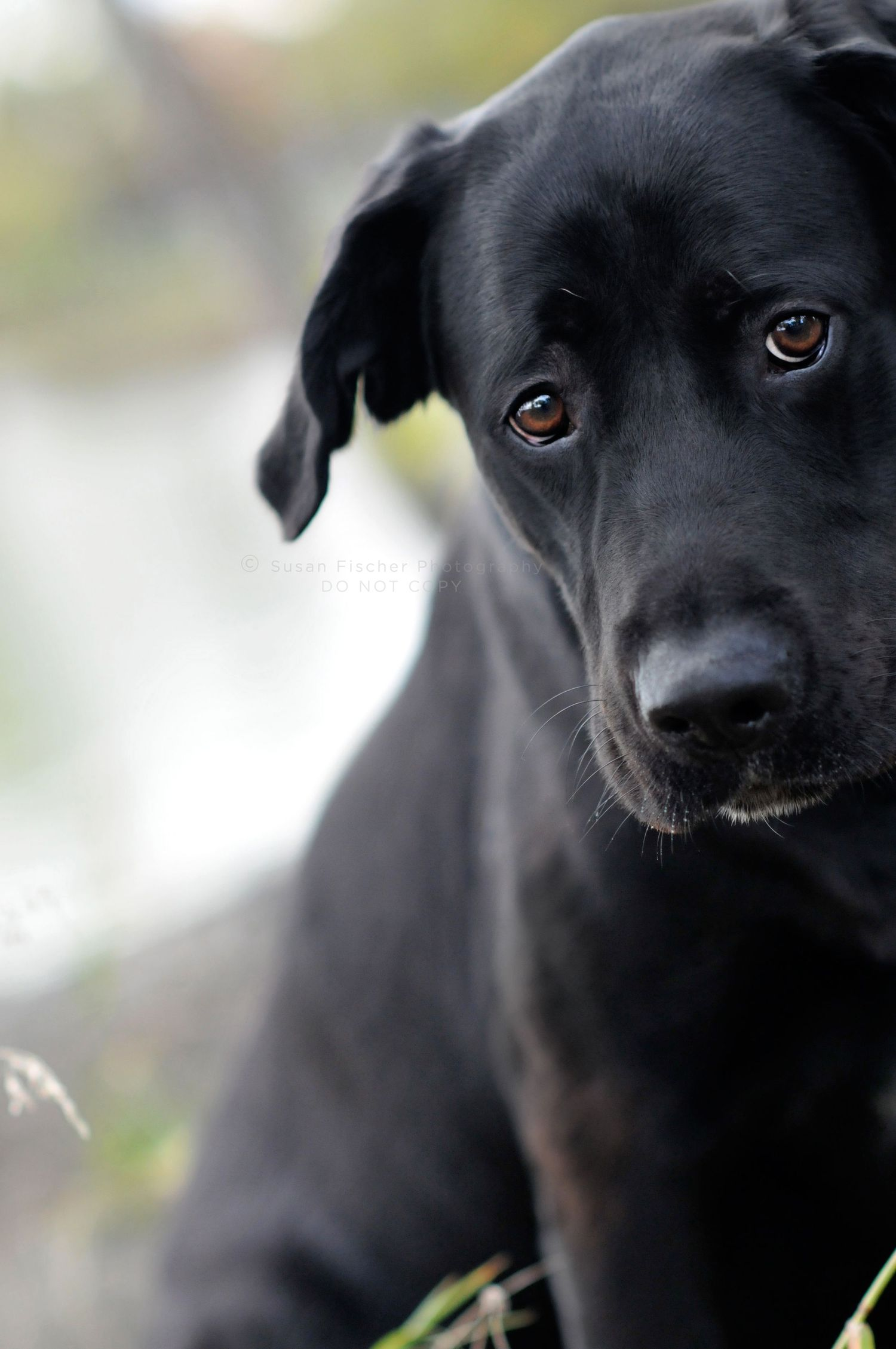 dog, sad dog, black dog, Labrador retriever