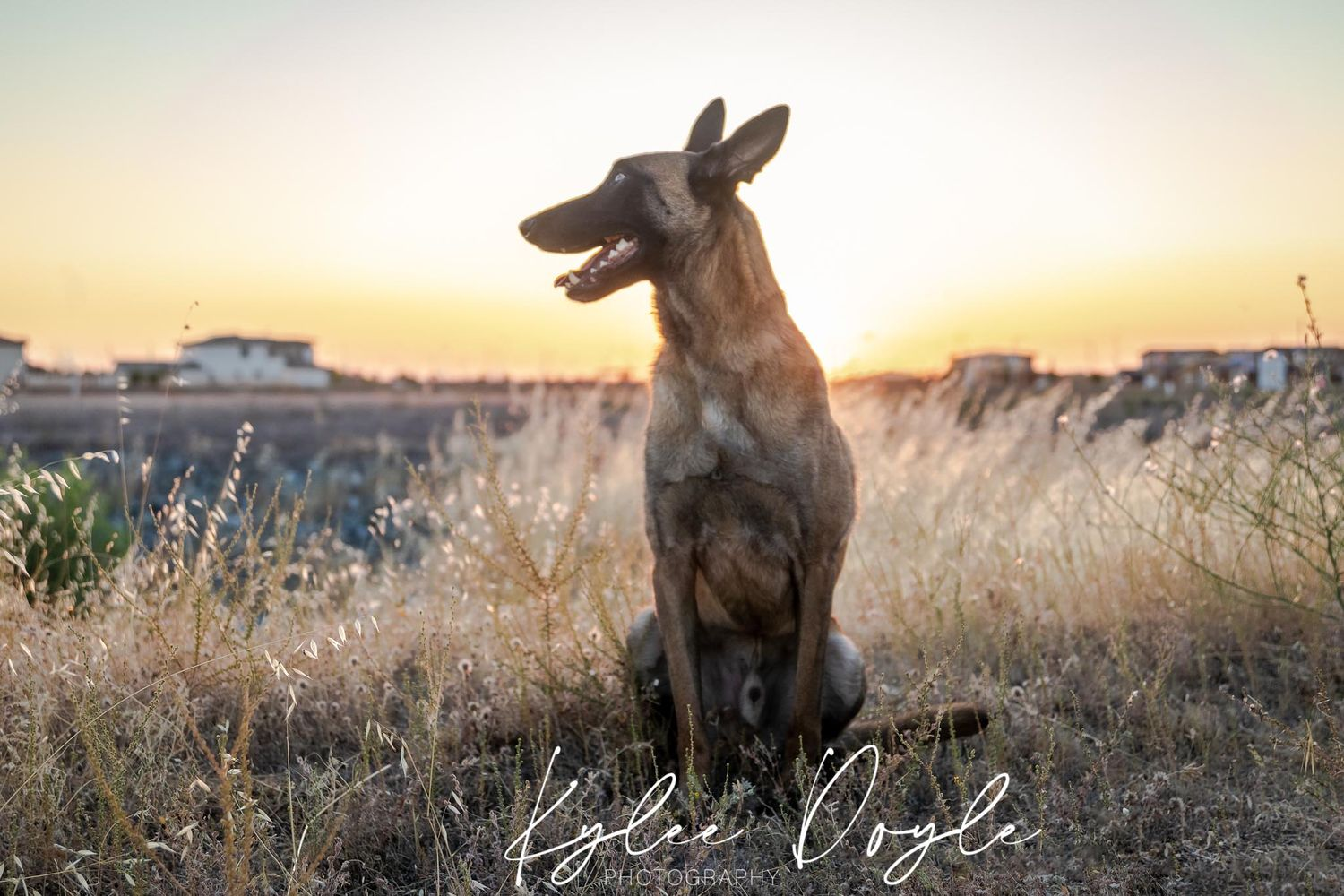 Belgian malinois dog sitting in tall grass at sunset
