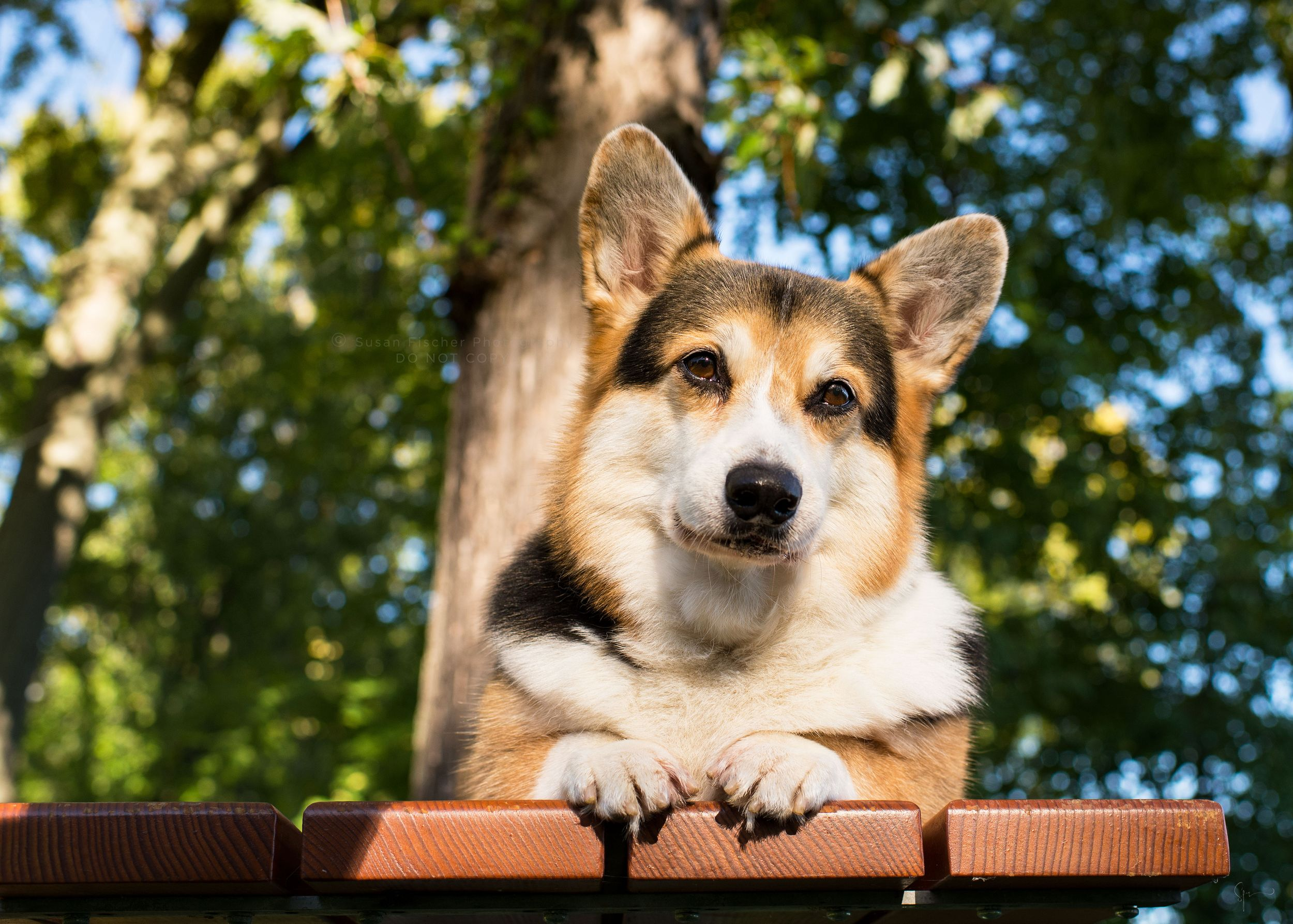 dog, corgi, senior corgi, lying down