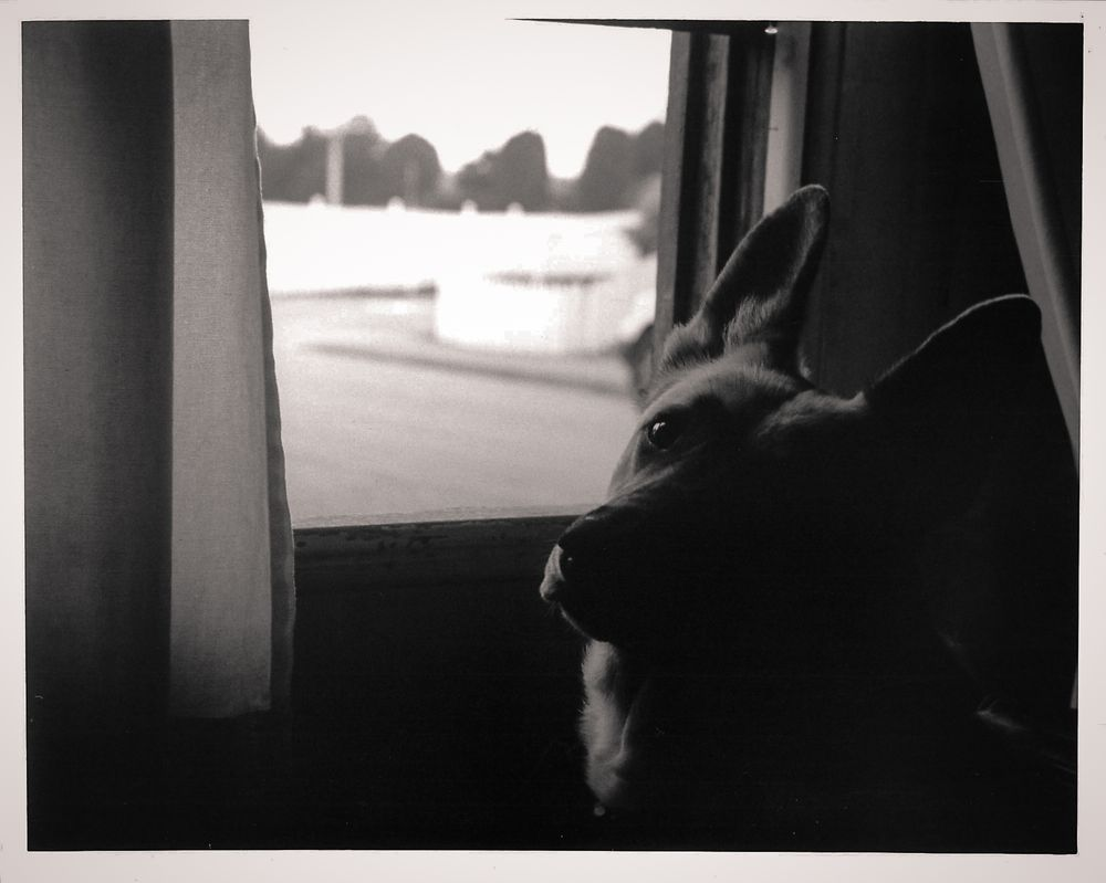 german shepherd looking at camera next to window