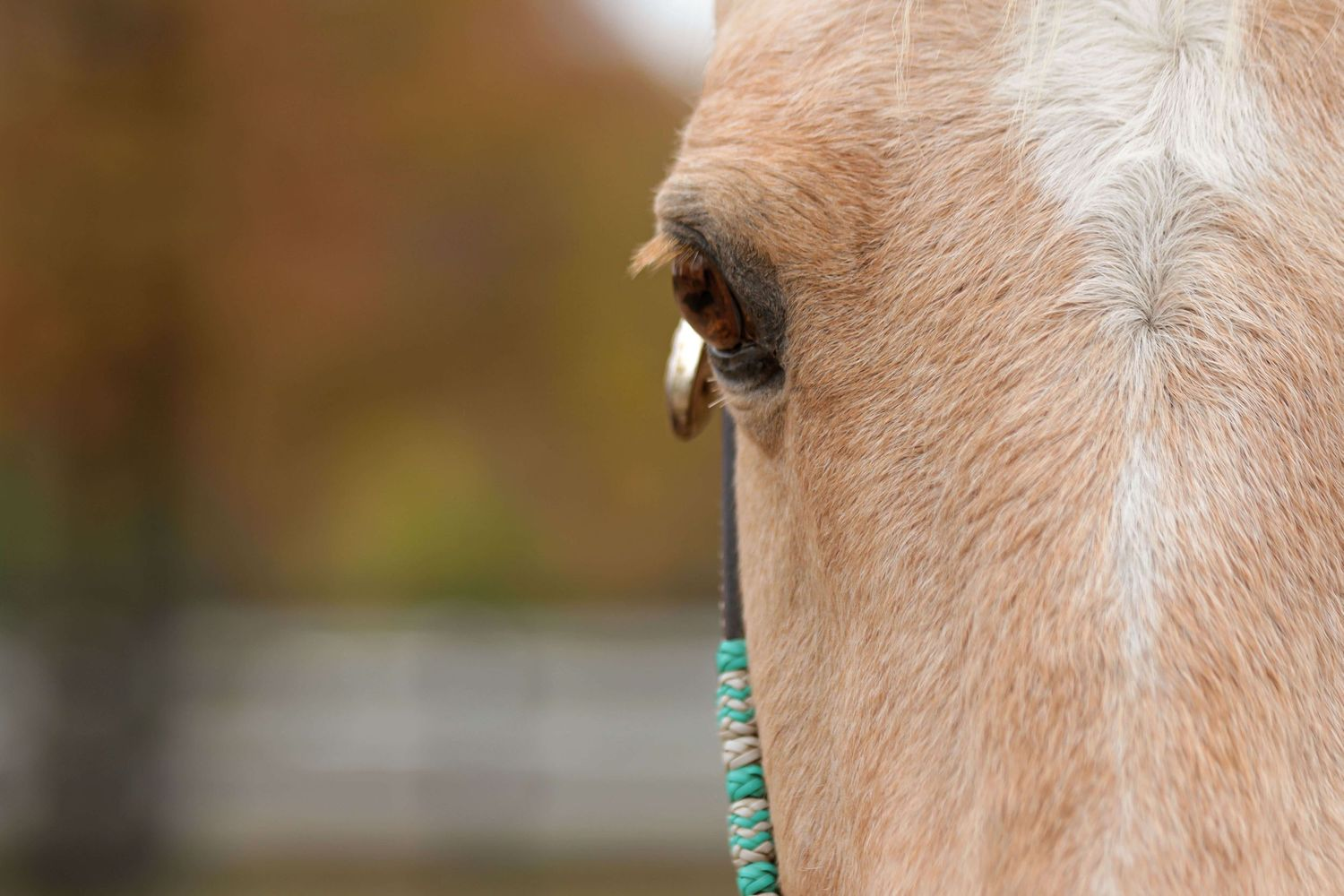 CT Fall Quarter Horse Photography of a Palomino
