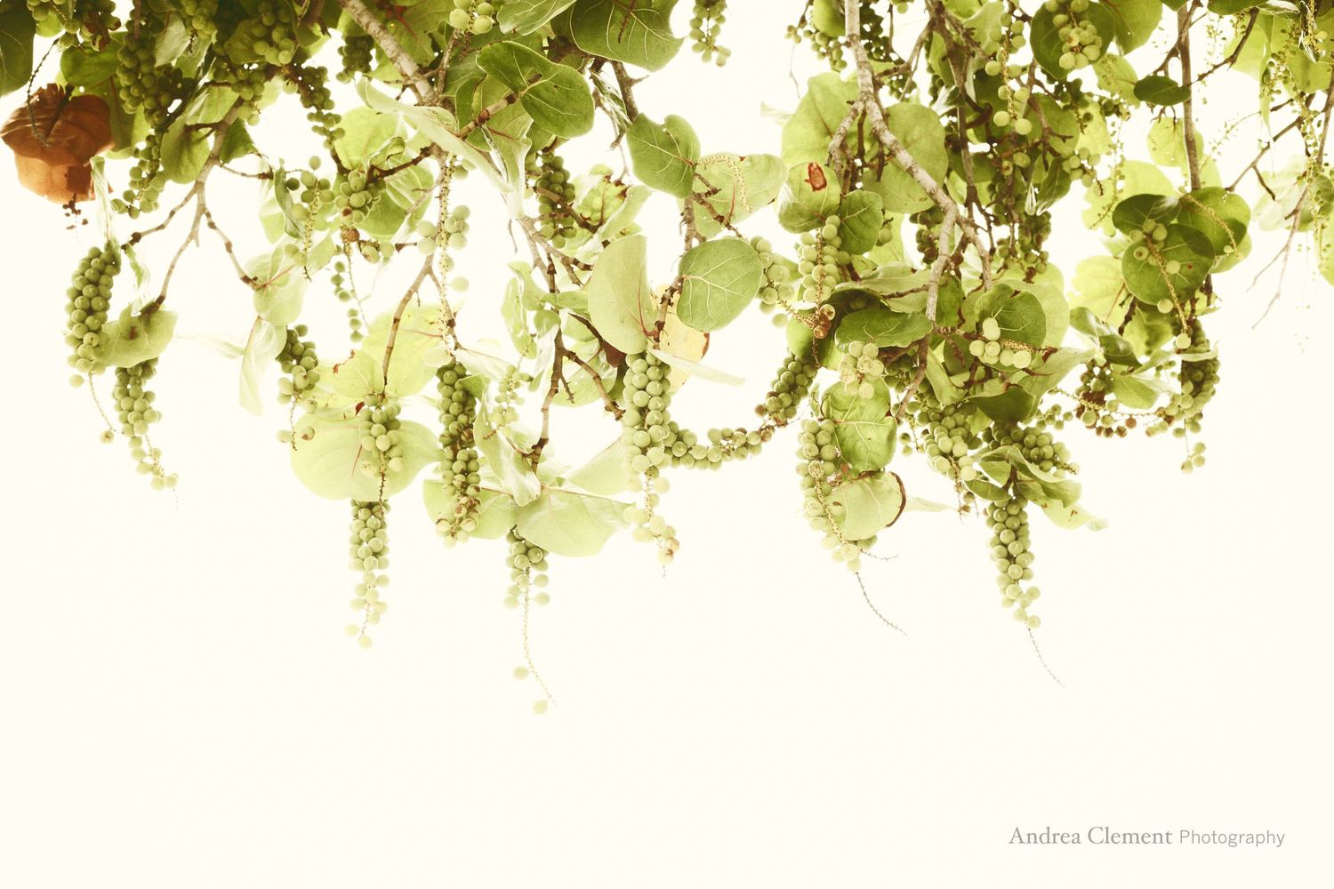 Hanging Sea Grapes