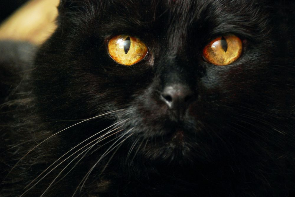 close up of black cat with yellow eyes