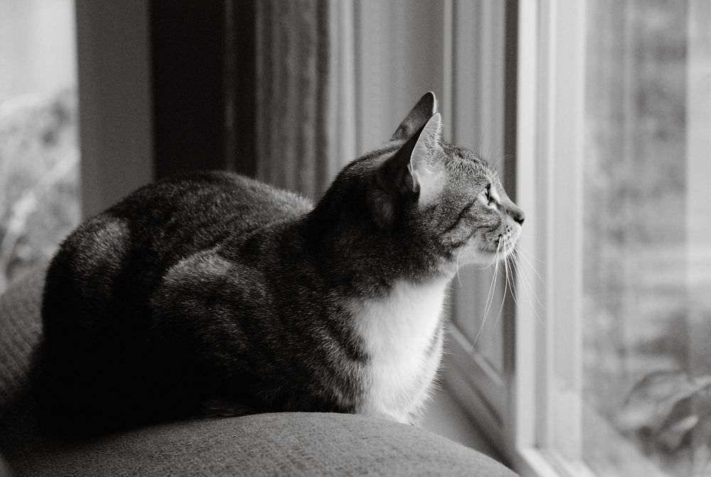 black and white image of tabby looking out window