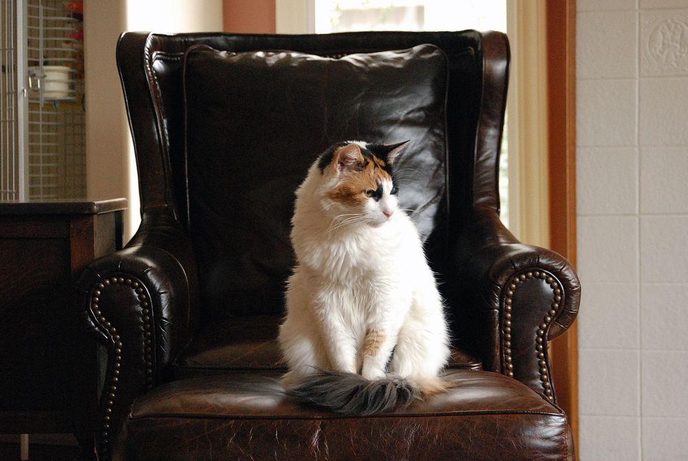 long haired calico cat on leather couch