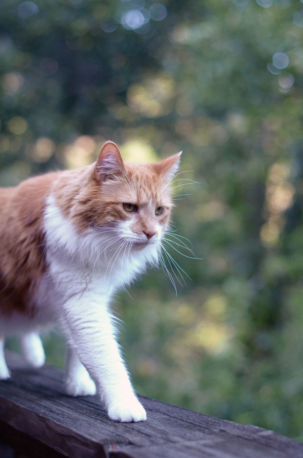 orange and white long haired cat outside