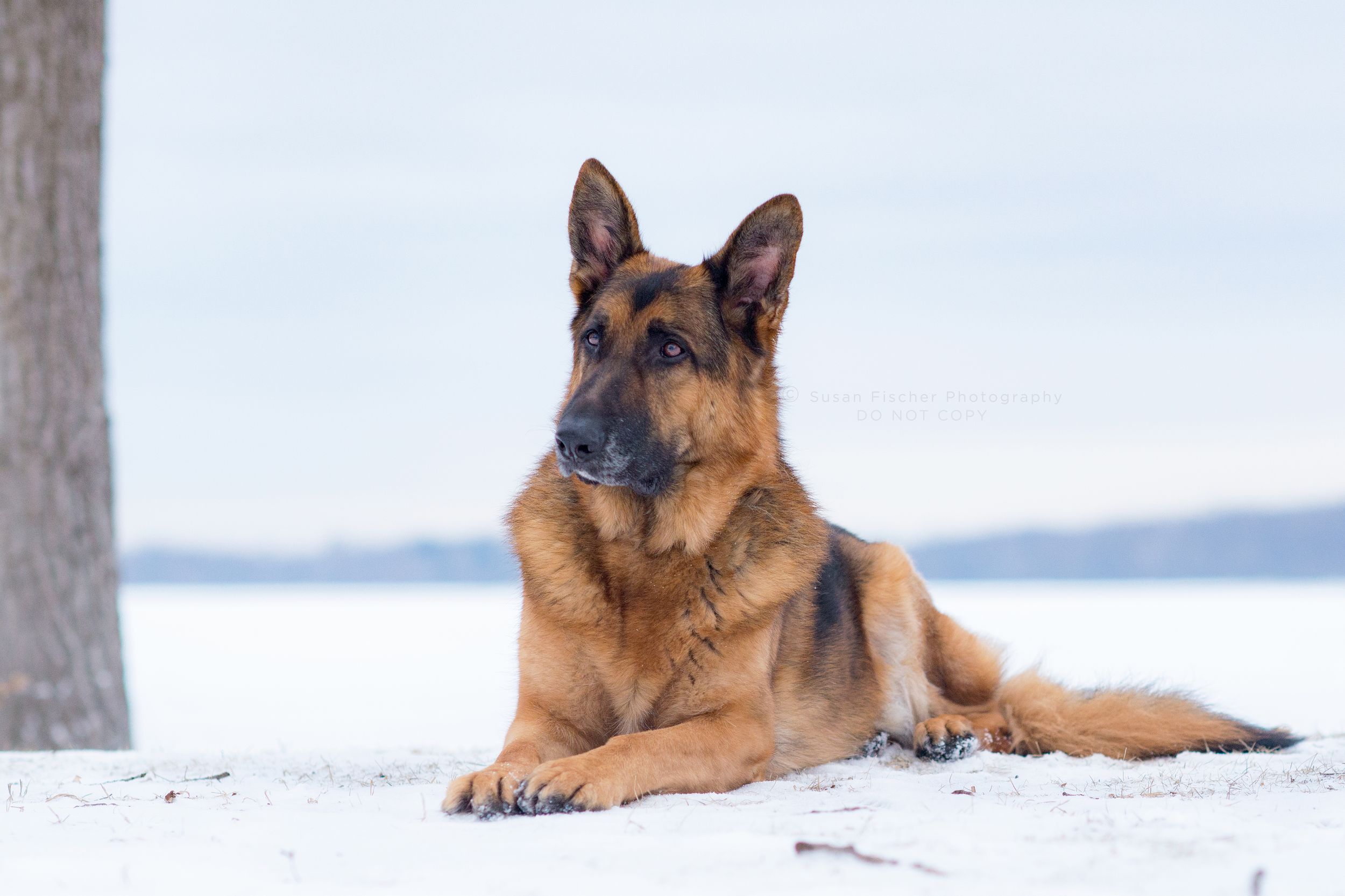 dog, German shepherd, dog in snow, lying down