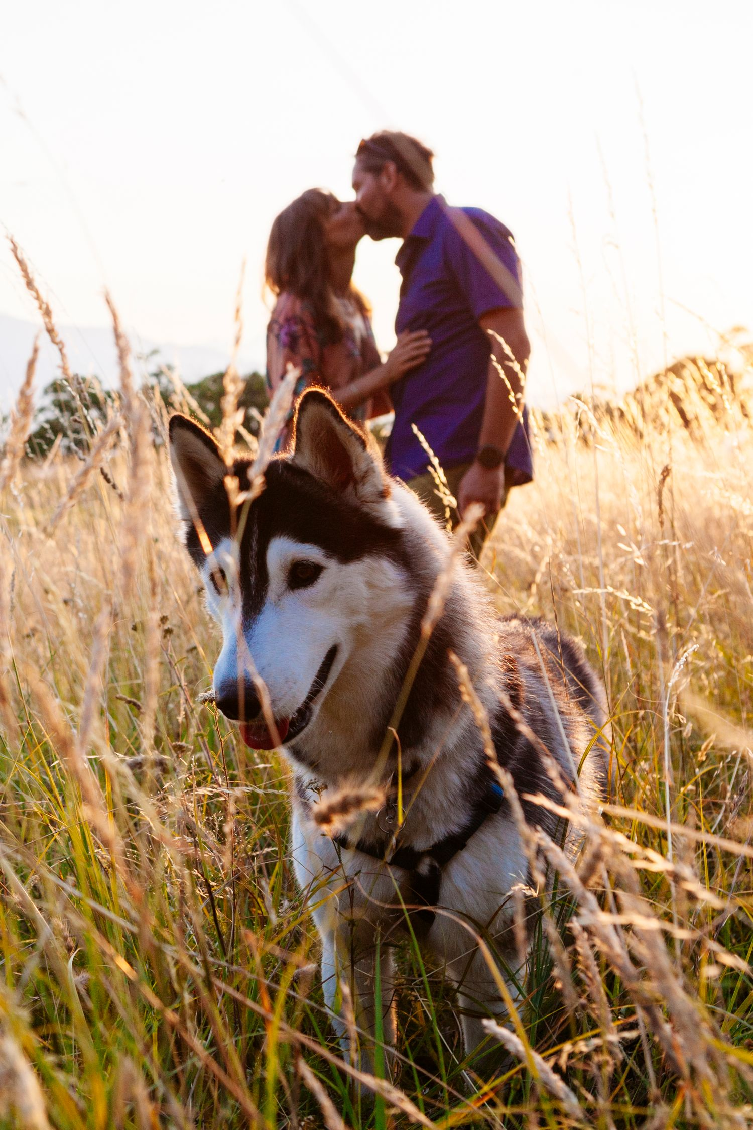 husky dog takes centre stage during sunset engagement photo shoot in Tuscany
