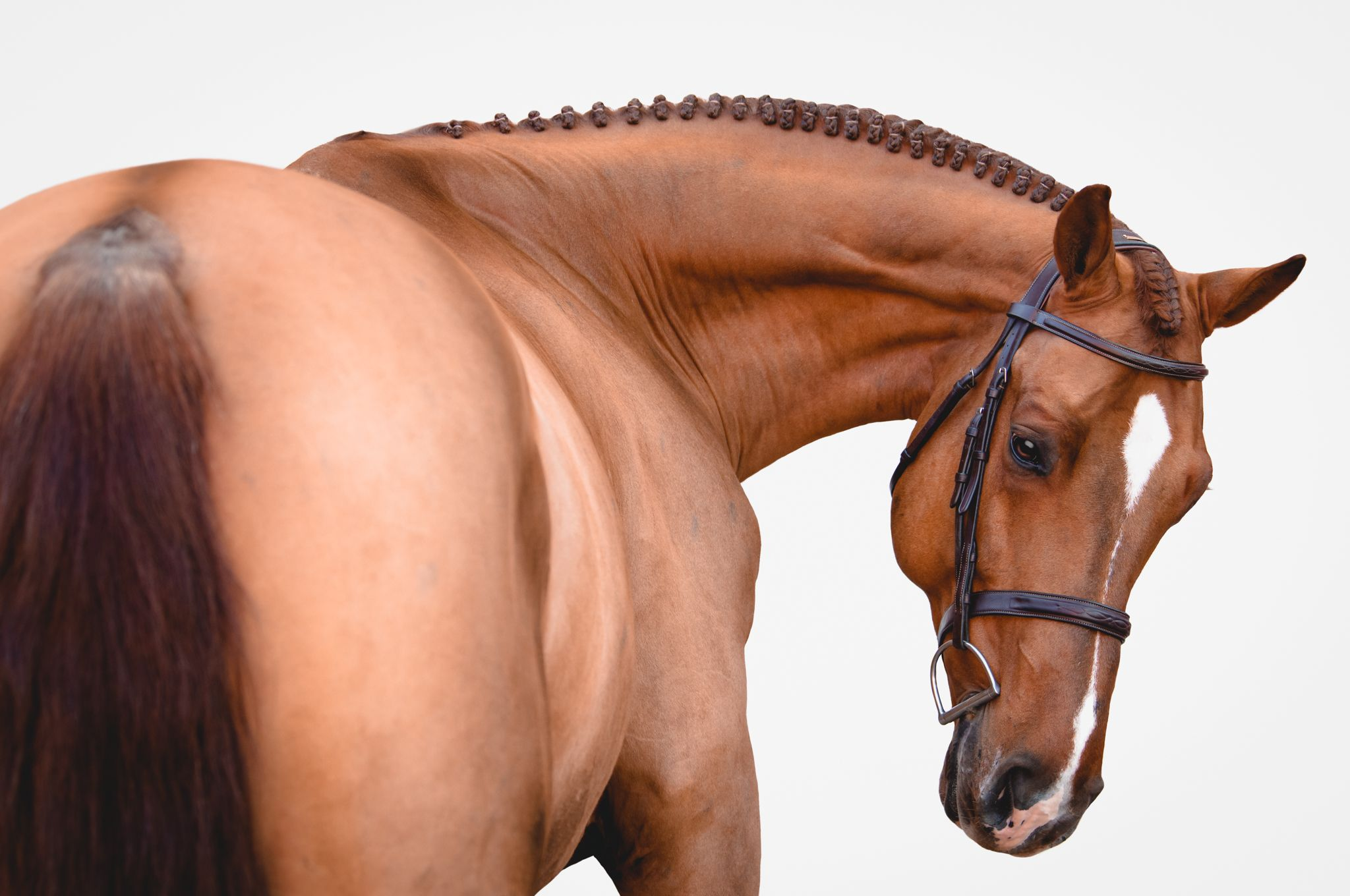 Chestnut horse with white stripe wearing bridle on white background