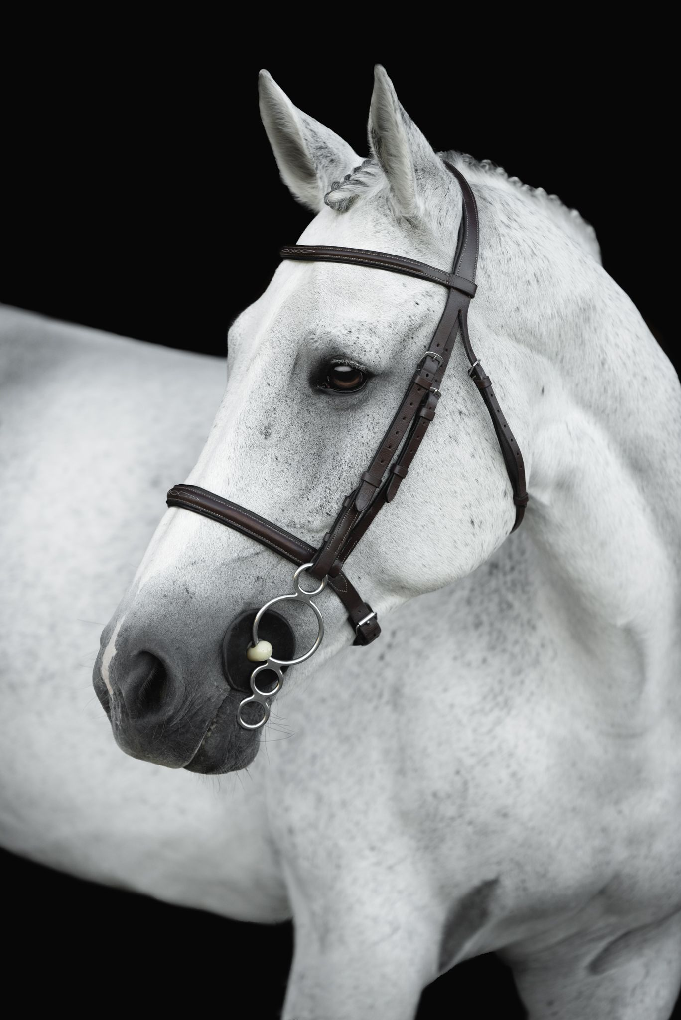 Closeup of white horse wearing bridle on black background
