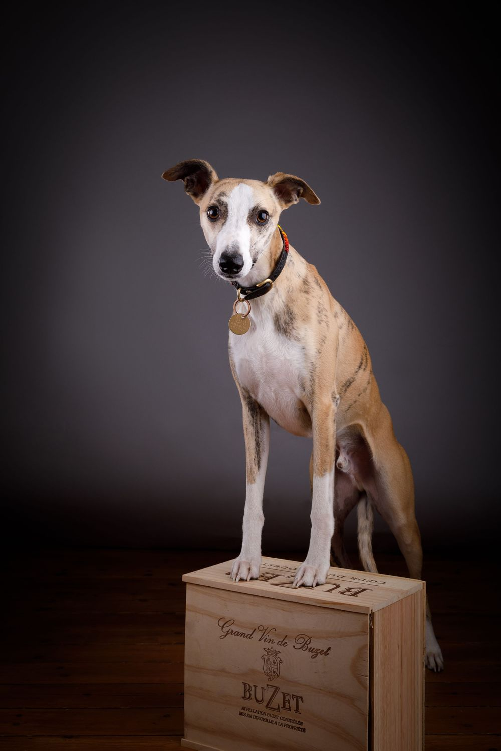 Whippet, Dog photography in Lambourn, Berkshire