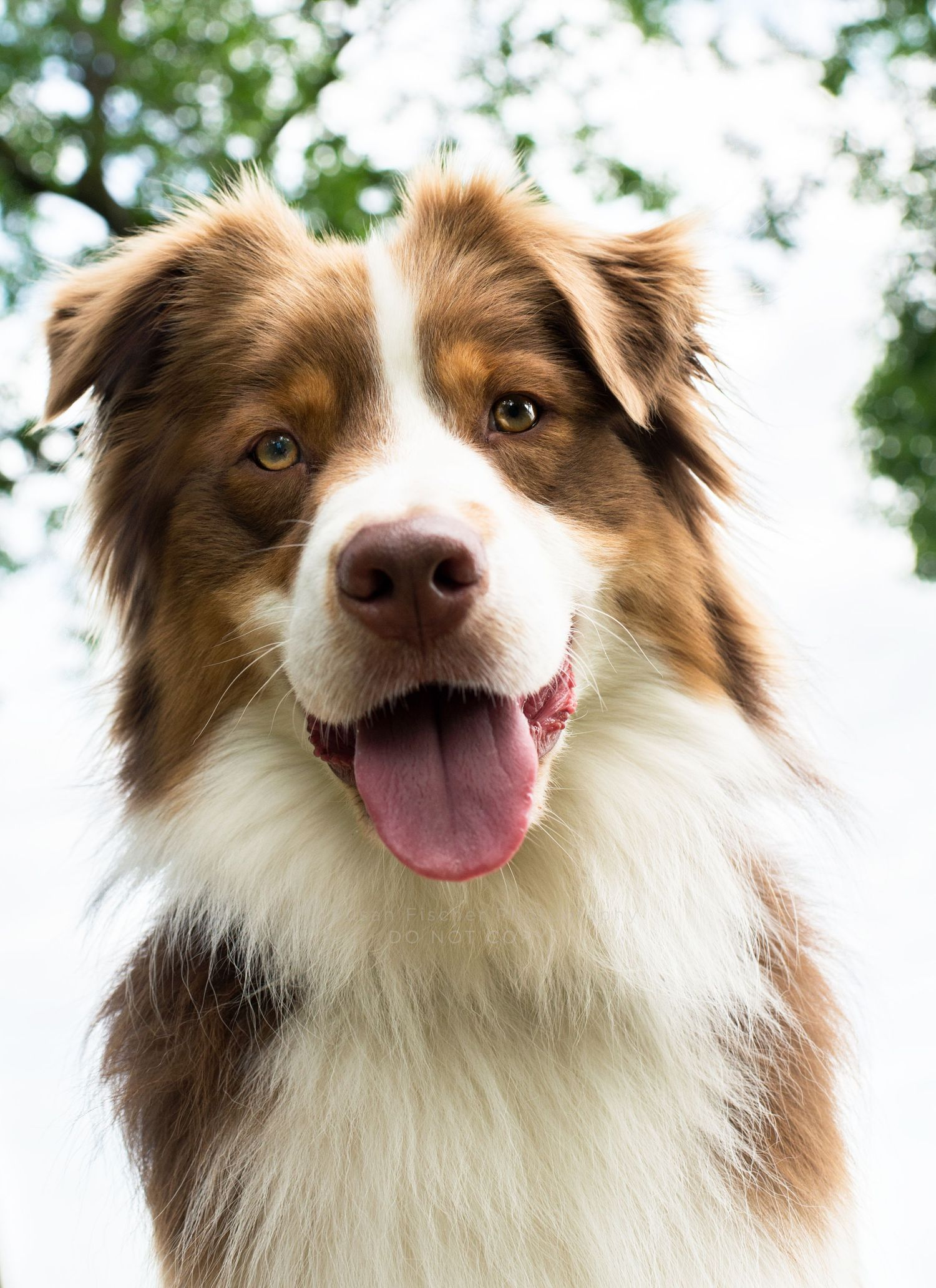 A smiling portrait of a red and white Australian Shepherd
