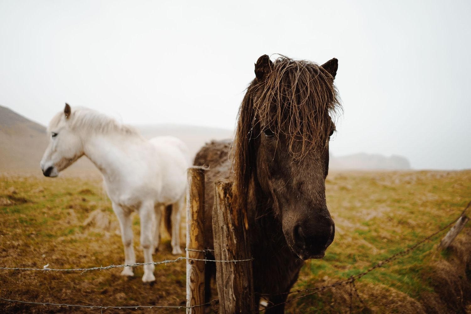 Icelandic horses standing in a field during winter elopement