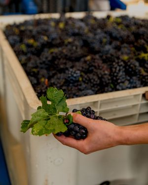 Winemaker sorting through bin of pinot noir grapes for material other than grapes