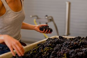 Winemaker sorting through bunches of pinot noir for materials other than grapes (also known as M.O.G)