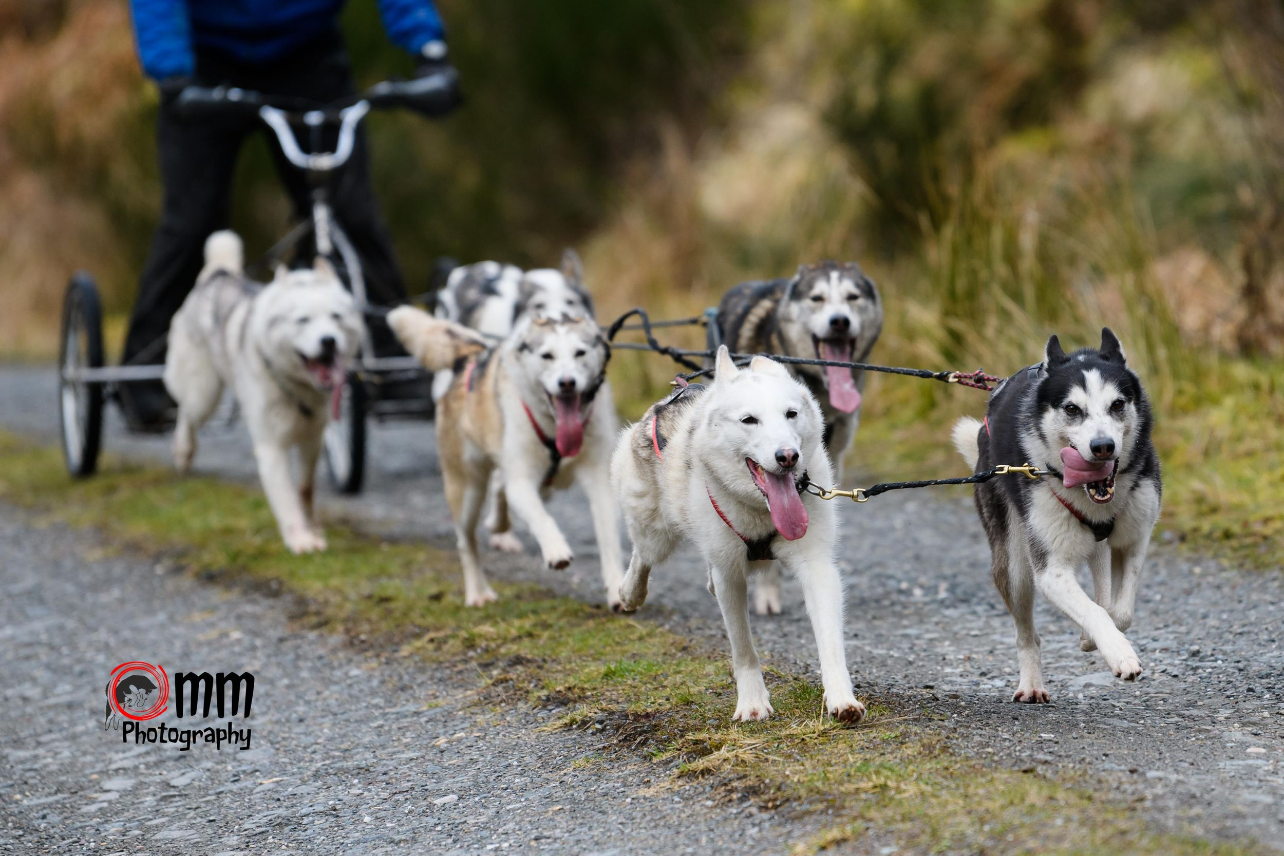 Glasgow event photographer, Glasgow dog photographer, working dogs, sled dogs, agility, flyball