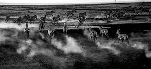 Beautiful black and white photo of zebras running during a wedding ceremony in Masai Mara
