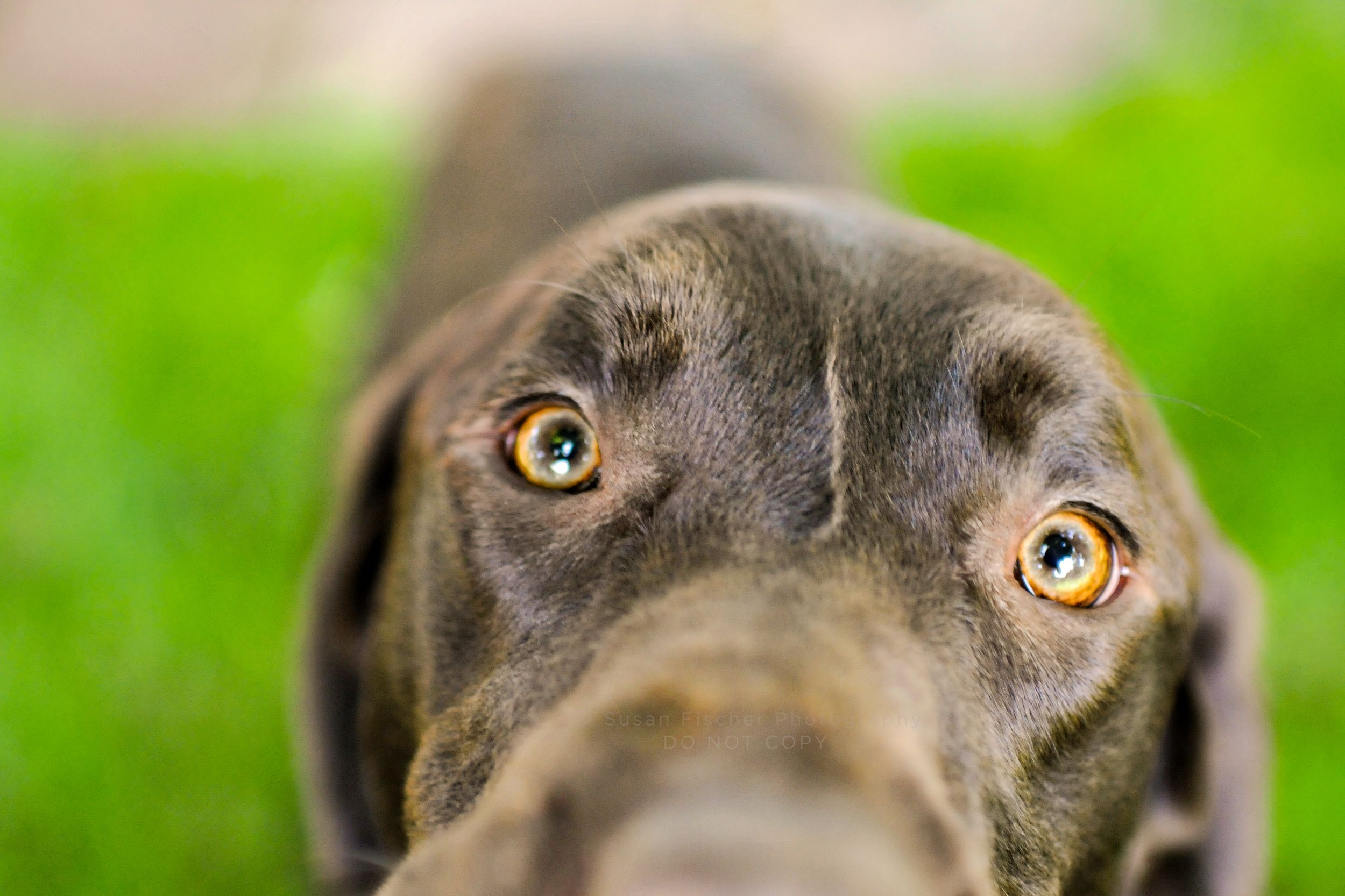 Eyes of a chocolate Labrador Retriever