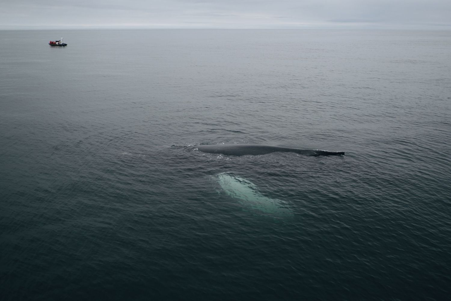 shot from above of a humpback whale swimming just under the surface of dark ocean water, a small boat in the distance