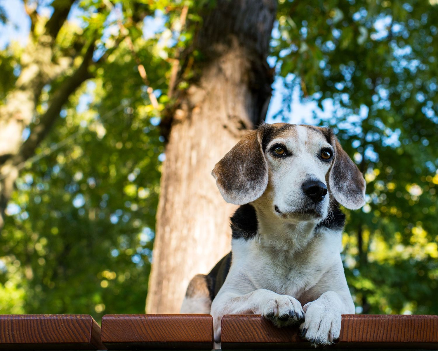 A senior Beagle lying on a picnic table under shade of some trees