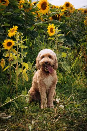 Zara Davis Photography Stroud Gloucestershire Cotswolds Family sunflowers pets cockapoo in sunflowers
