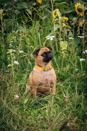 Zara Davis Photography Stroud Gloucestershire Cotswolds Family sunflowers pets pug in flowers