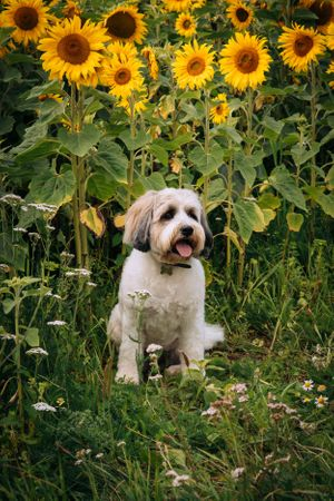Zara Davis Photography Stroud Gloucestershire Cotswolds Family sunflowers fluffy dog in flowers